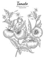illustrazione botanica disegnata a mano di pomodoro con disegni al tratto su sfondi bianchi. vettore