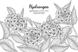 illustrazione botanica disegnata a mano di fiori e foglie di ortensie con disegni al tratto su sfondi bianchi. vettore