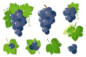 serie di illustrazioni con uva blu frutti esotici, fiori e foglie isolati su sfondo bianco. vettore
