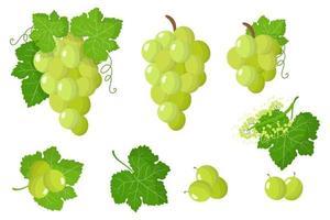 serie di illustrazioni con uva bianca frutta esotica, fiori e foglie isolati su sfondo bianco. vettore
