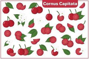 serie di illustrazioni vettoriali di cartone animato con cornus capitata frutti esotici, fiori e foglie isolati su priorità bassa bianca