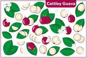 serie di illustrazioni vettoriali di cartone animato con cattley guava frutti esotici, fiori e foglie isolati su priorità bassa bianca