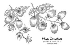 illustrazione botanica disegnata a mano di pomodoro prugna con disegni al tratto su sfondi bianchi. vettore