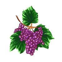 uva isolato su uno sfondo bianco. grapevine disegnati a mano illustrazione vettoriale. vettore