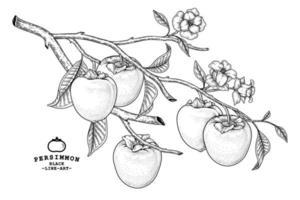 insieme dell'illustrazione botanica degli elementi disegnati a mano della frutta del cachi di hachiya vettore