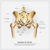 anatomia umana dell'illustrazione vettoriale anca