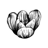 schizzo di fiori di zafferano. crocus isolato su uno sfondo bianco. illustrazione vettoriale disegnato a mano