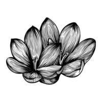 fiore di croco. zafferano. illustrazione vettoriale