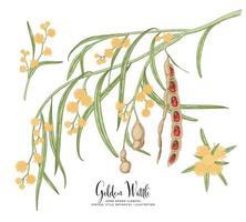 ramo di acacia dorata o acacia pycnantha con fiori foglie e baccelli set decorativo illustrazioni botaniche disegnate a mano vettore