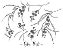insieme decorativo di vettore di schizzo disegnato a mano di acacia o acacia pycnantha d'oro