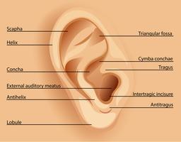 Schema dell'orecchio vettore