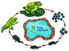 Il ciclo di vita della rana vettore