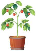 Una pianta di pomodori su sfondo bianco