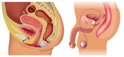Sistema riproduttivo femminile e maschile vettore