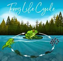 concetto del ciclo di vita della rana vettore
