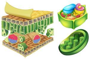 Cellule vegetali vettore