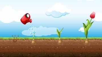 Un insieme di Tulip Growth Stage vettore