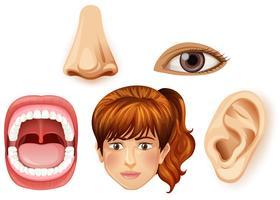 Una parte facciale femminile umana