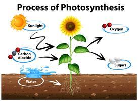 Diagramma che mostra girasole e processo di fotosintesi