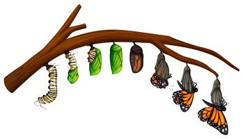 Una serie di Butterfly Life Cycle vettore