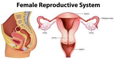 Diagramma che mostra il sistema riproduttivo femminile vettore
