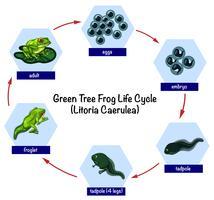 Ciclo di vita della rana verde dell'albero vettore