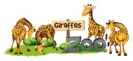 Quattro giraffe nello zoo
