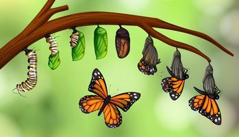 Ciclo di vita della farfalla scientifica vettore