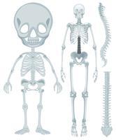 Sistema scheletrico per essere umano vettore