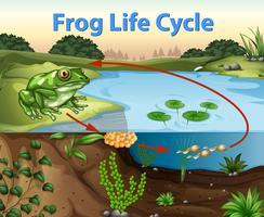 Ciclo vitale della scienza della rana vettore