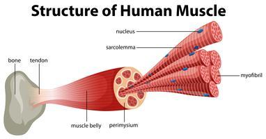 Una struttura del muscolo umano