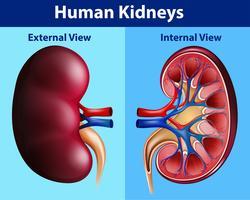 Schema di anatomia umana con reni vettore