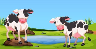 Due mucche in piedi in cortile