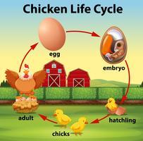 Ciclo di vita del pollo scientifico vettore