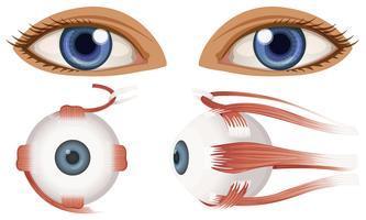 Anatomia umana del bulbo oculare vettore