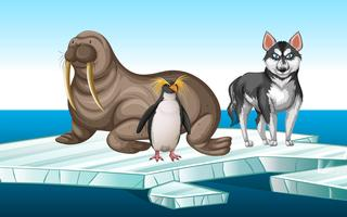 Tricheco e penquin sull'iceberg vettore