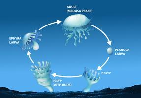 Diagramma che mostra il ciclo di vita delle meduse vettore