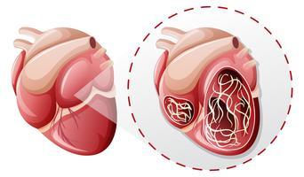 concetto di verme di cuore ingrandito vettore