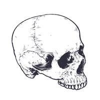 Vettore anatomico del cranio