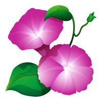 Fiore rosa di gloria di mattina con le foglie verdi vettore