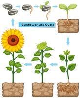 Ciclo di vita della pianta di girasole vettore