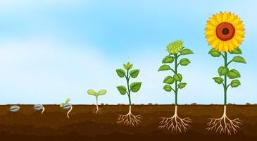 Diagramma delle fasi di crescita delle piante vettore