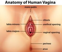 Diagramma che mostra l'anatomia della vagina umana vettore