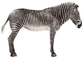 zebra vettore