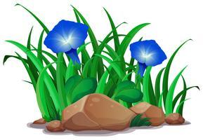 Gloria mattutina blu nel giardino vettore