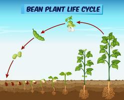 Diagramma che mostra il ciclo di vita delle piante di fagioli vettore