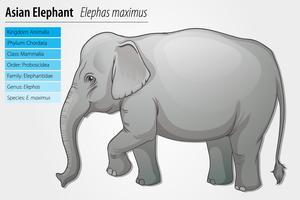 Elefante asiatico vettore