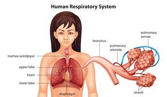 Sistema respiratorio umano femminile
