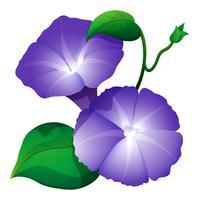 Fiore di gloria di mattina nel colore viola vettore