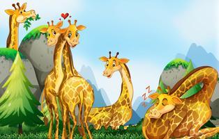 Molte giraffe nel campo